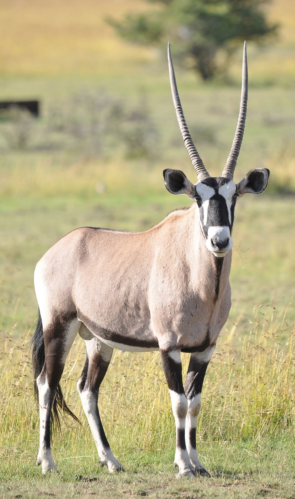 A majestic antelope on the Savannah plains.