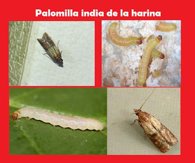 Palomilla india de la harina (Plodia interpunctella H.). Manual gratis