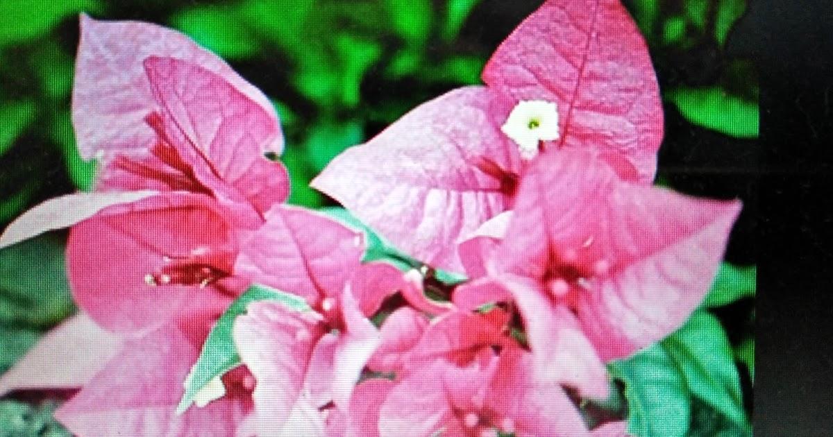 Fuziah Sulaiman Blog Jom Kenali Flora Bunga Kertas Bougainvilla Ornamental Herba