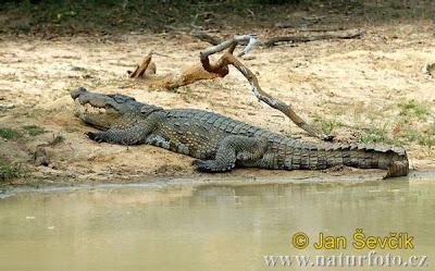 cocodrilo marismeño Crocodylus palustris