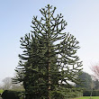 The Monkey Puzzle Tree