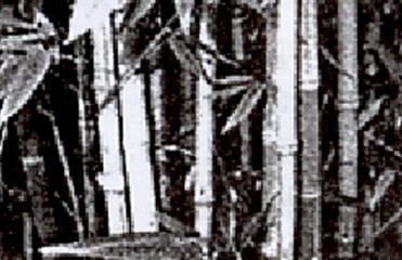 Cara Bambu Berkembang Biak