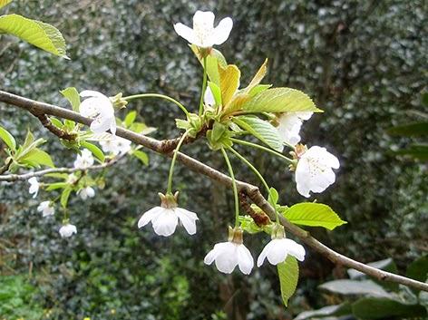 Cerezo silvestre (Prunus avium)