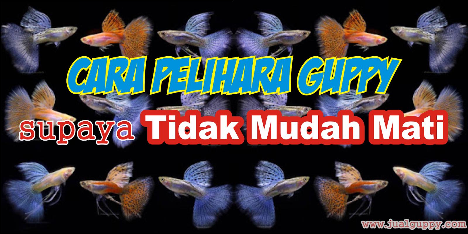 Cara Pelihara Guppy Supaya Tidak Mudah Mati Sale Guppy Fish Indonesia