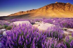 Gurun or Timur Tengah Gunung Ada Bunga