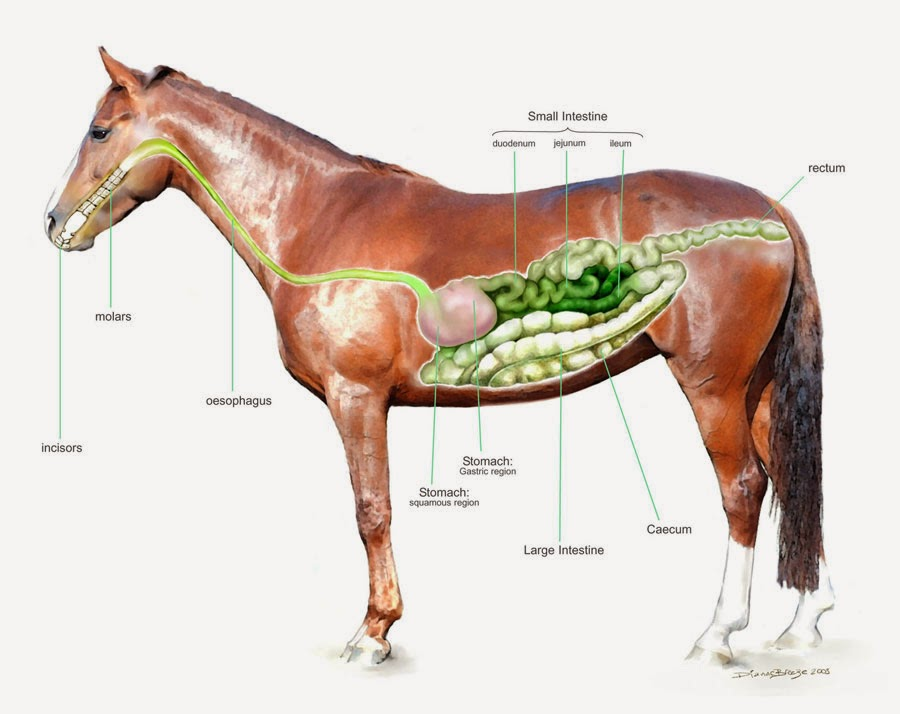 Horse Life And Love Horse Anatomy Digestive System