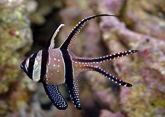 Dunia Ikan Hias - Ikan Kardinal Banggai