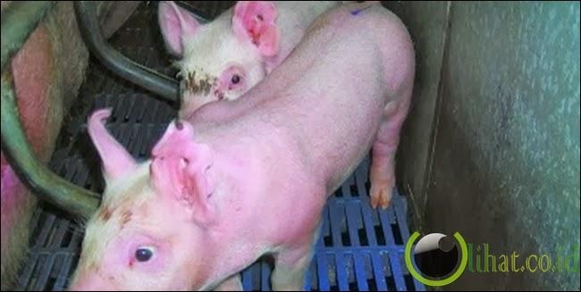 Kloning Babi Transgenik d! China