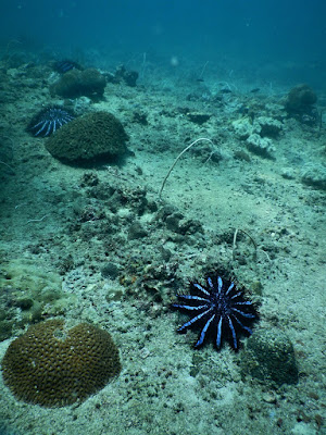 photo of three crown-of-thorns starfish scuba diving Phi Phi Islands