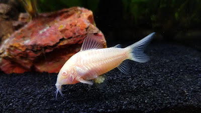 Female albino corydoras carrying newly fertilized eggs in her pelvic fins