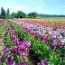 Ngắm nhìn những bông hoa đẹp thứ hai trên Thế Giới