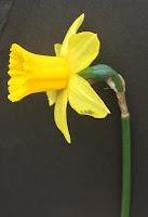fleur de jonquille / narcisse - point de croix
