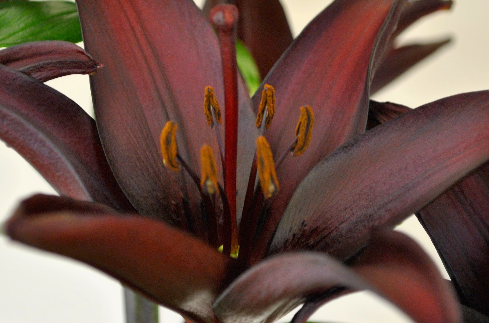 THE BLACK LILY - Lilium 'Landini'