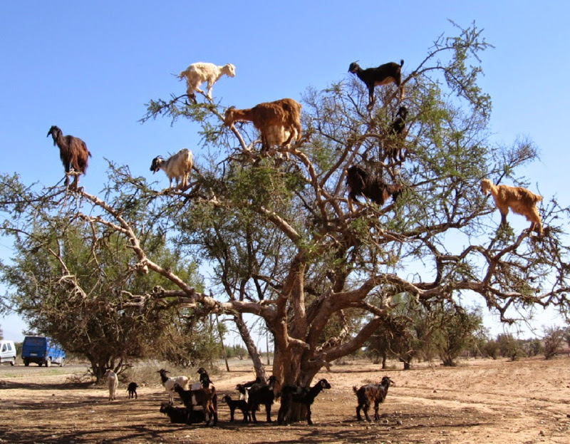 Cabras em cima de uma árvore