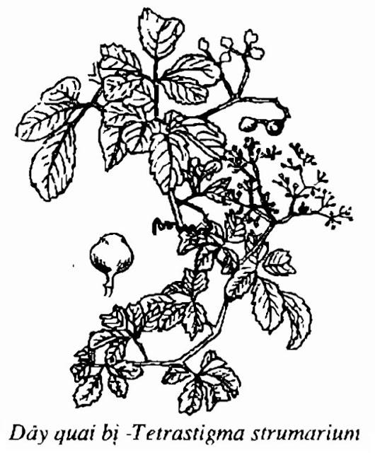Hình vẽ Dây Quai Bị - Tetrastigma strumarium - Nguyên liệu làm thuốc Chữa Cảm Sốt