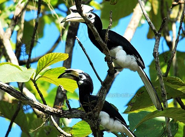 Sandakan Oriental Pied Hornbills