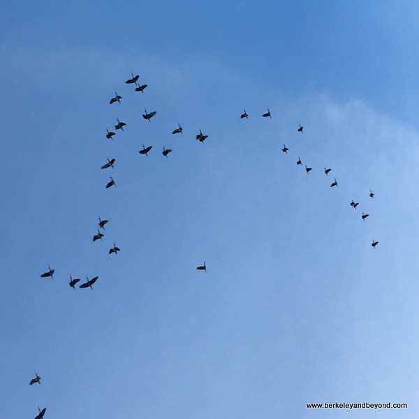 flock of Scarlet Ibis heading to roosting trees at Caroni Swamp & Bird Sanctuary in Trinidad