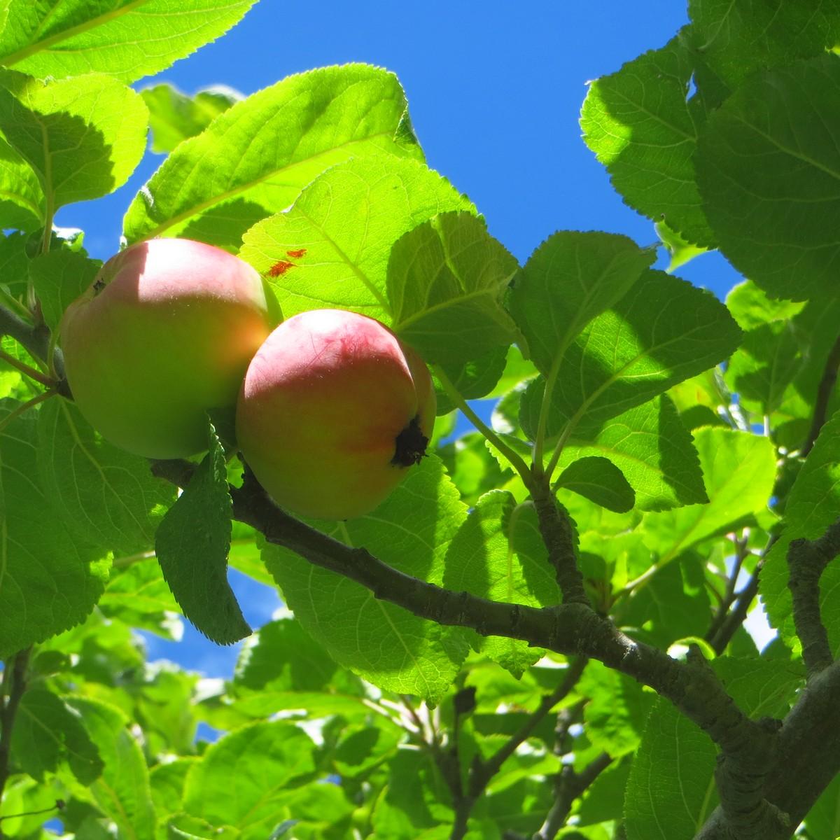 En el cielo las estrellas: El manzano de Newton