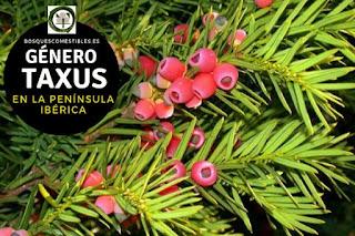 El género Taxus: Tejos, arboles perennes, con leño druro; hojas planas, lineares