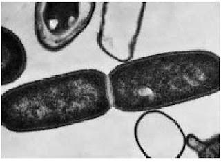 pembelahan bakteri, reproduksi bakteri, cara reproduksi bakteri