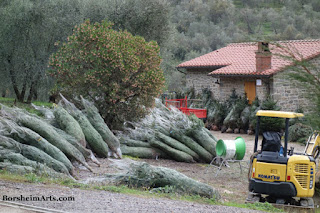 Christmas Trees raised in beautiful surroundings Castelvecchio in Tuscany