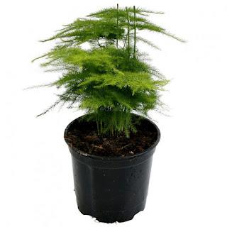 tanaman hias daun asparagus-plumosus