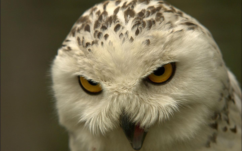 Beautiful Wallpapers: Owl Wallpaper