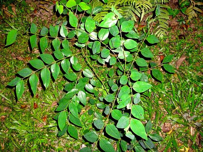 the golden showerahala cassia fistula sl flora