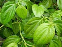 Betel leaf health benefits natural in home