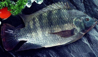 cara budidaya ikan gurame yang baik