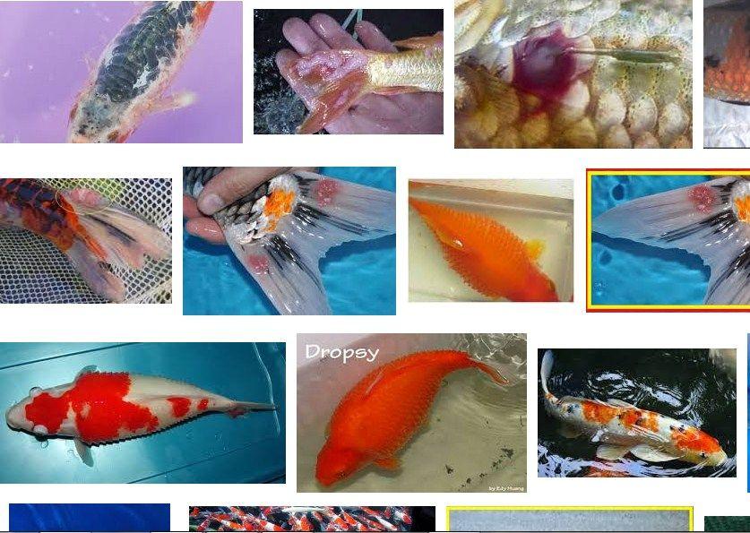 Gambar penyakit ikan koi badan merah
