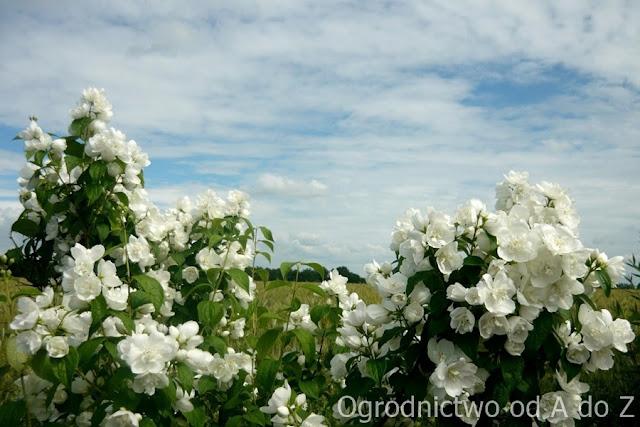 Jaśminowiec w pełni kwitnienia