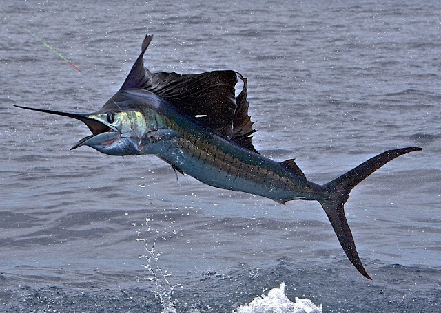 Image result for malaysian sailfish