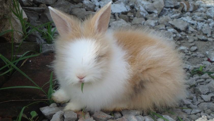 Kelinci Anggora lucu dna manis makan rumput saat