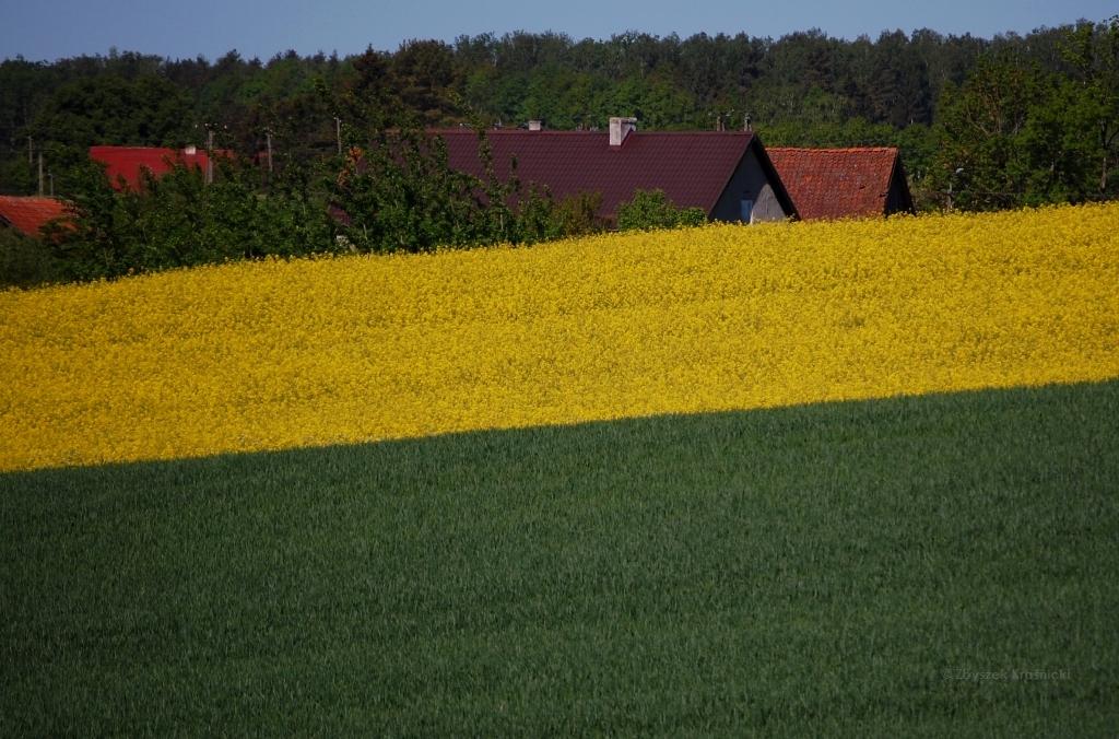 Warmińskie pola pełne rzepaku