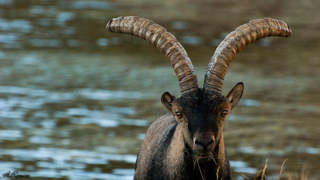 Macho de cabra montés de Gredos (Capra pyrenaica victoriae) de pelaje más oscuro que su única pariente viva del este y sur de la península  (Capra pyrenaica hispanica). Laguna Grande de Gredos (Ávila).