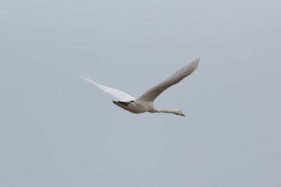 лебедь в небе