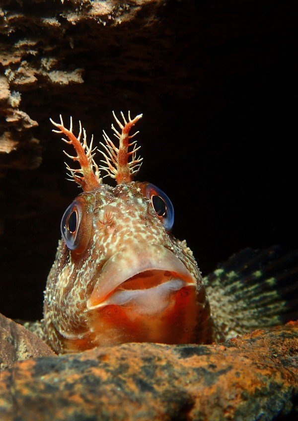The Best Underwater Photos EVER Taken Show Life From A Different Angle. - 'Tompot looking out' by Trevor Rees (UK)