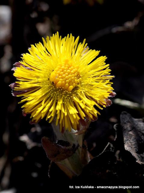 wiosna, wiosenne kwiatki, las bemowski, prosto z lasu, pierwsze kwiaty, rosliny lecznicze
