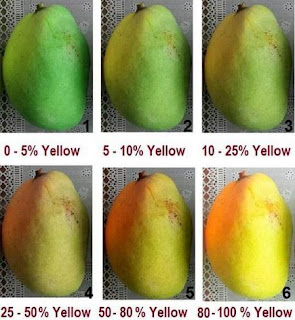 Mango Ripening Color Chart