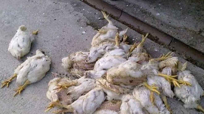 Diduga Terserang Penyakit, Ratusan Ternak Ayam Mati