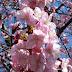 Melihat Sakura di Shizuoka Jepang