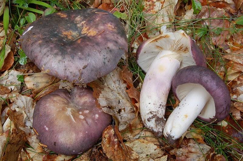 ciuperci messel cu varicoză