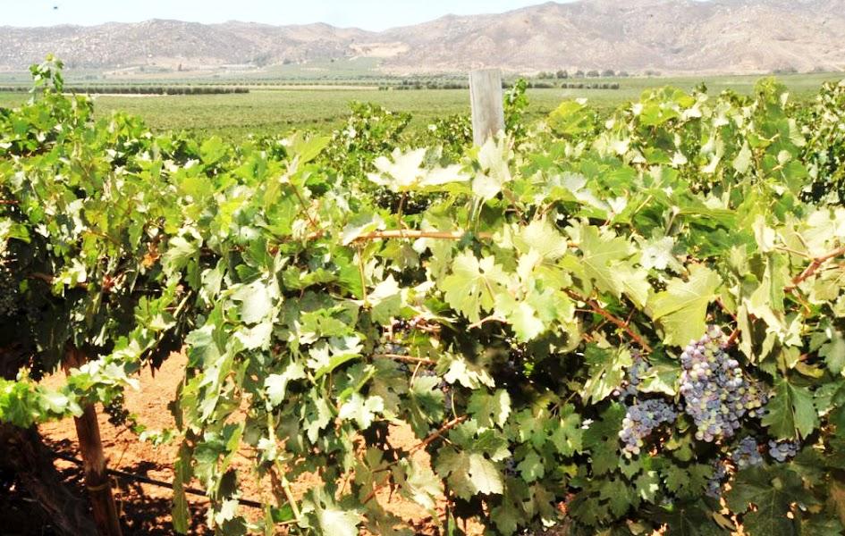 Paisaje del Valle de Guadalupe Ensenada, con planta de viñedo