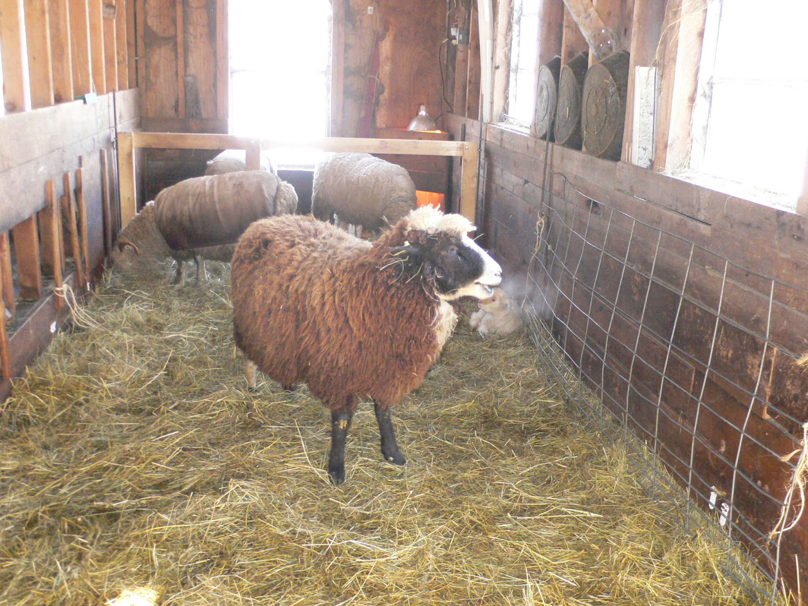 Ewe & I Farm: More sheep and lamb pictures
