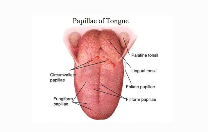 Tongue Definition Structure And Functions Science Shape