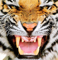 Tiger face with opened jaws
