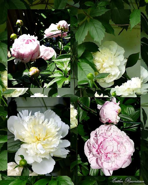 pivoines Sarah Bernhardt; pivoines Duchesse de Nemours