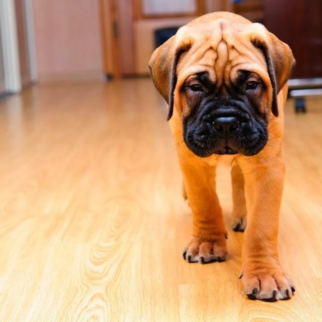 Psy rasy Mastif angielski