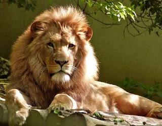 Lion facts image